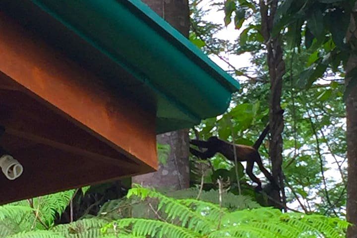 Howler Monkey in the trees beside the house and the outside shower.