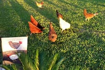 Free Roaming pet chickens
