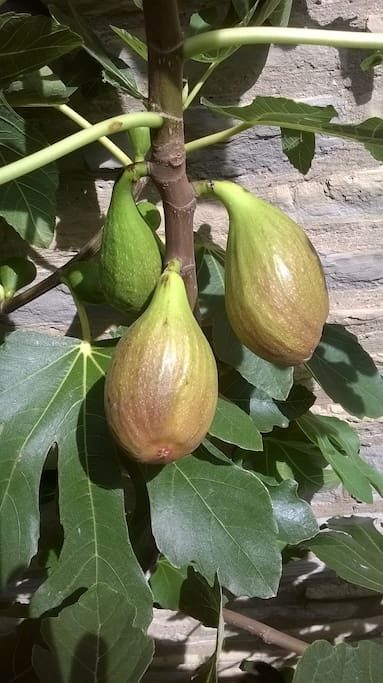 Figs on the cottage wall in summer