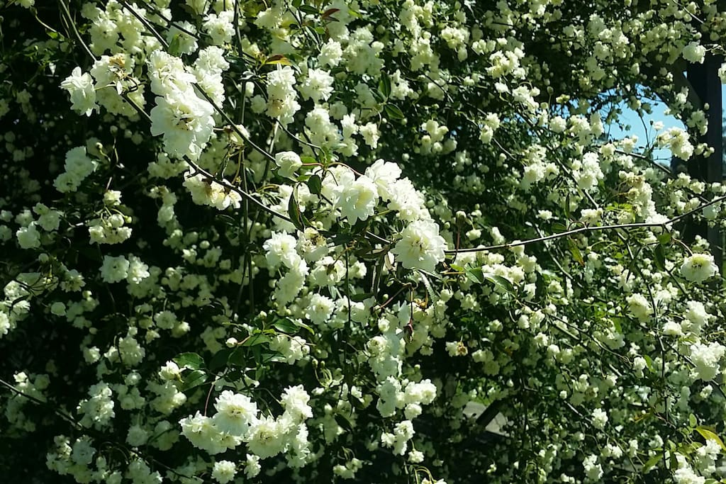 Tiny White Rose flowers in full bloom in Spring