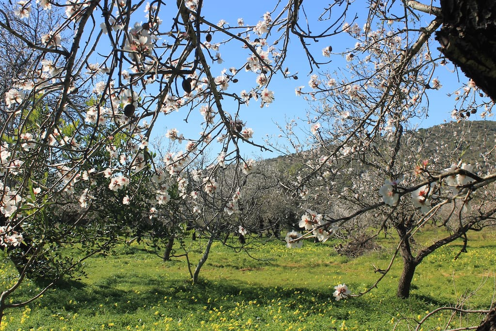 Rural Setting, with Almond, Carob & Fig Trees