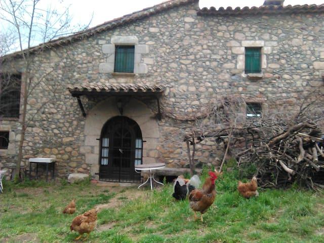 Los pollos en libertad pasean por la casa