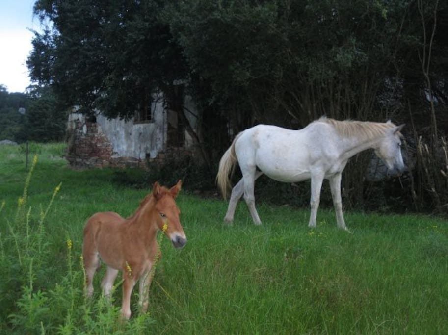Wild horses of Kaapsehoop.