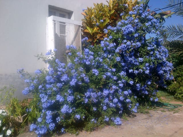 Plumbago in garden