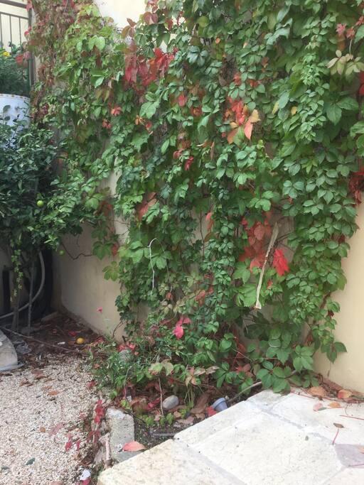 Fruit tree in courtyard