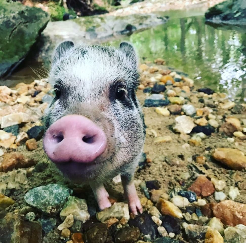 Panna is our resident small potbelly pig. She loves to make new friends and play at the creek!