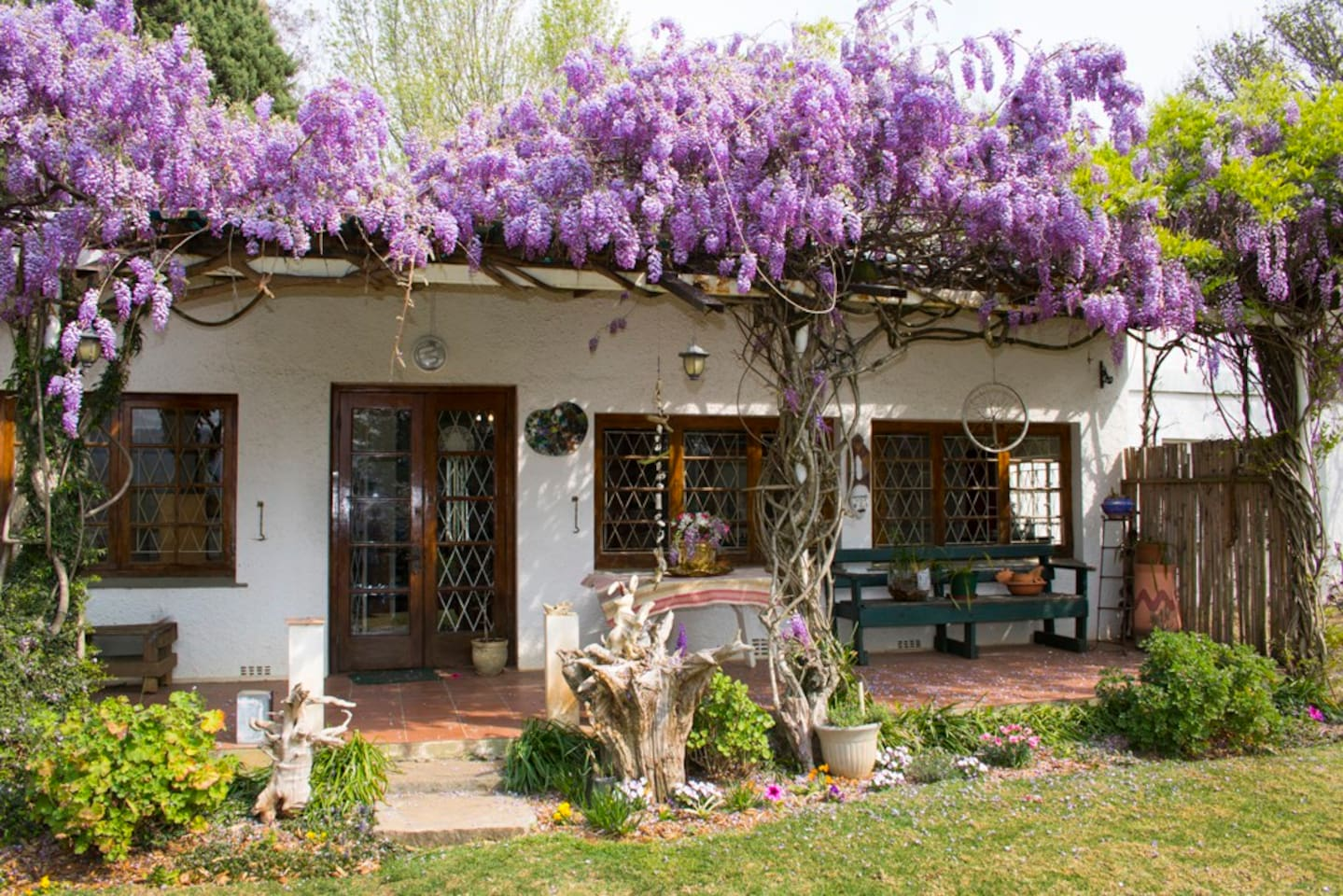 The Wisteria in full bloom