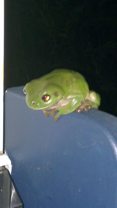 Our resident green tree frog
