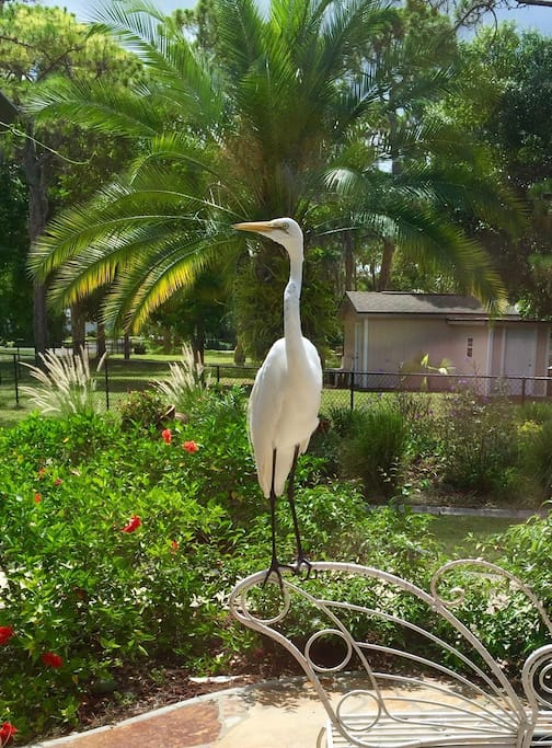 Our resident Great White Heron, Horton.