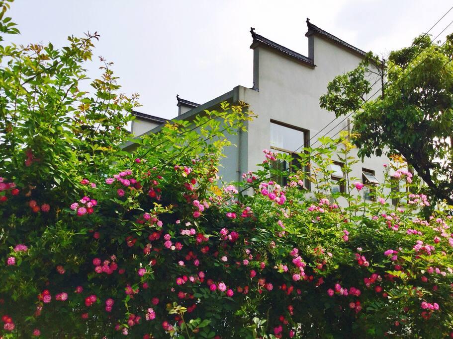 蔷薇花盛放