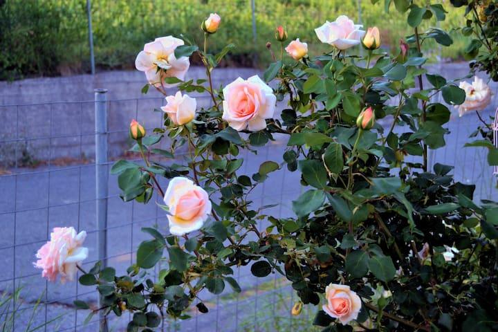 Rosen am Zaun von Tris Elies