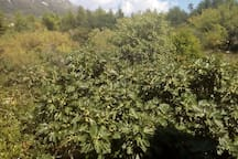 View from bedroom-figs tree