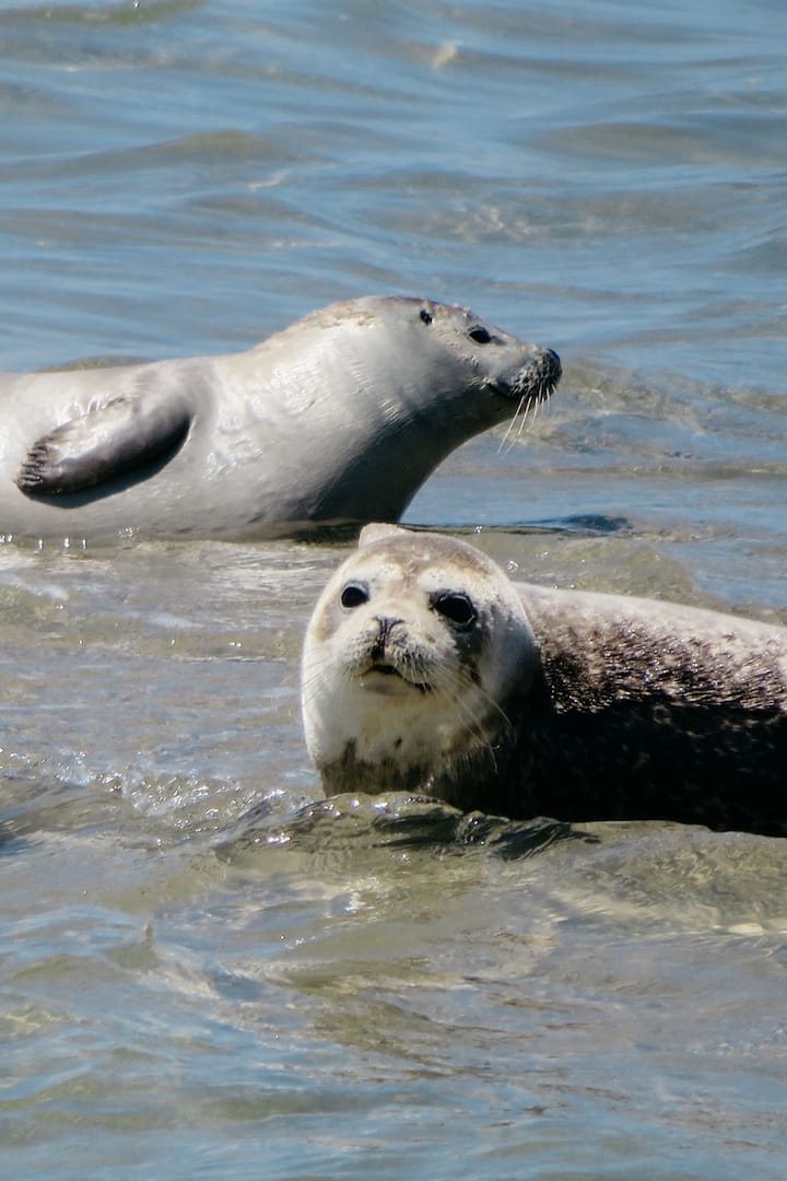 Our lovely Harbor Seals