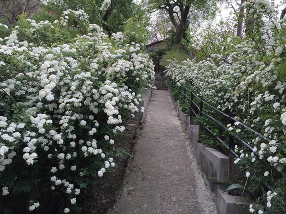 Maybush , along the pathway in summer