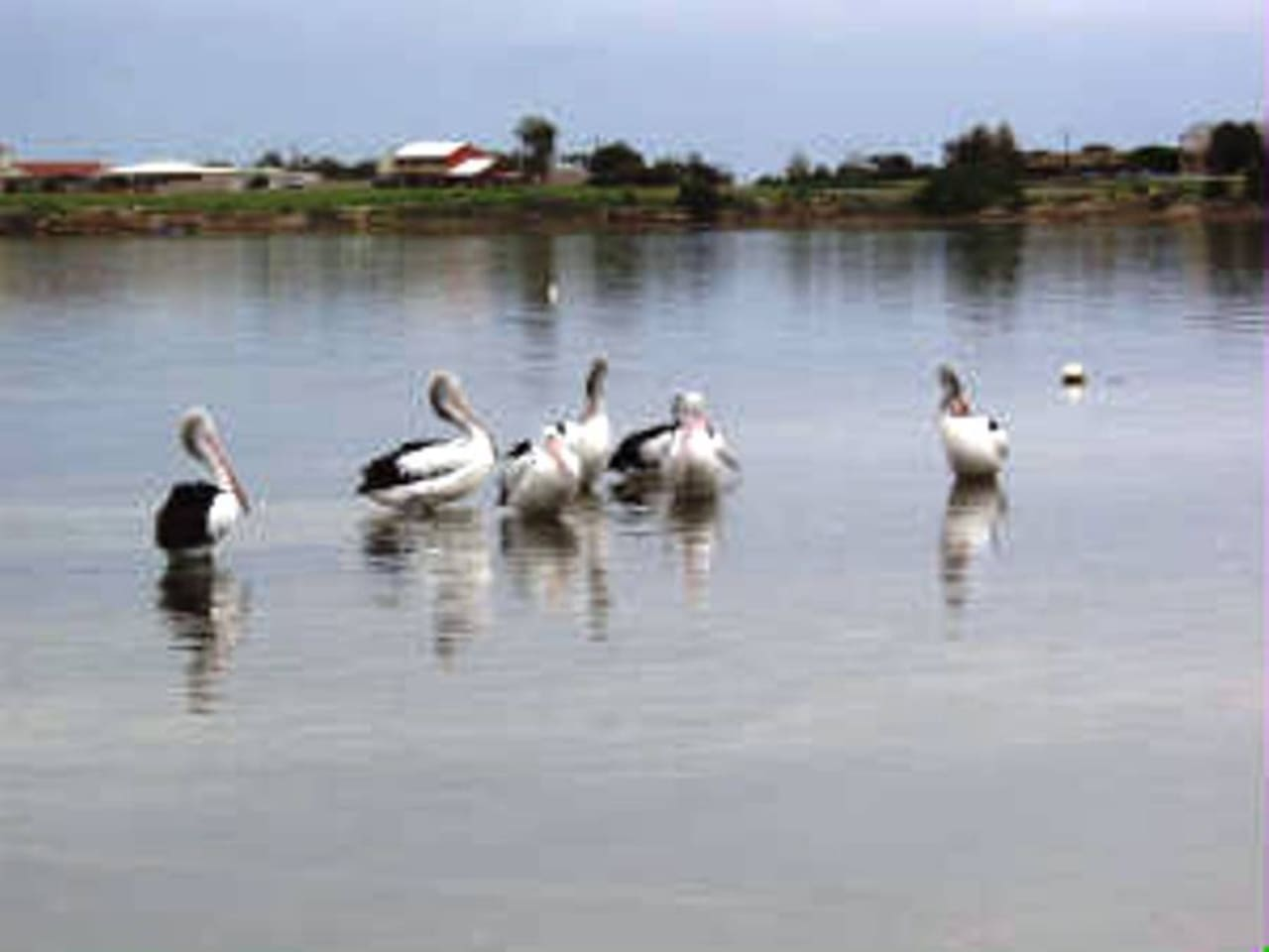 Coobowie resident pelicans
