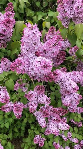 Lilac flower blooms in May