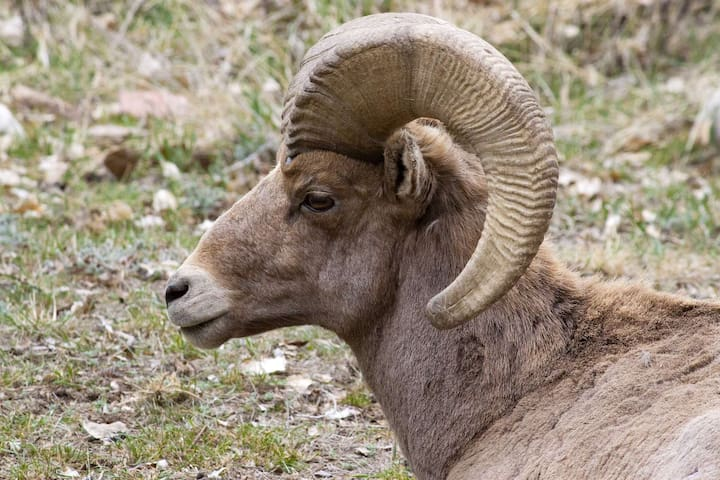 The magnificent Rocky Mountain bighorn sheep became the official state animal of Colorado in 1961 - look for them on the mountainside.