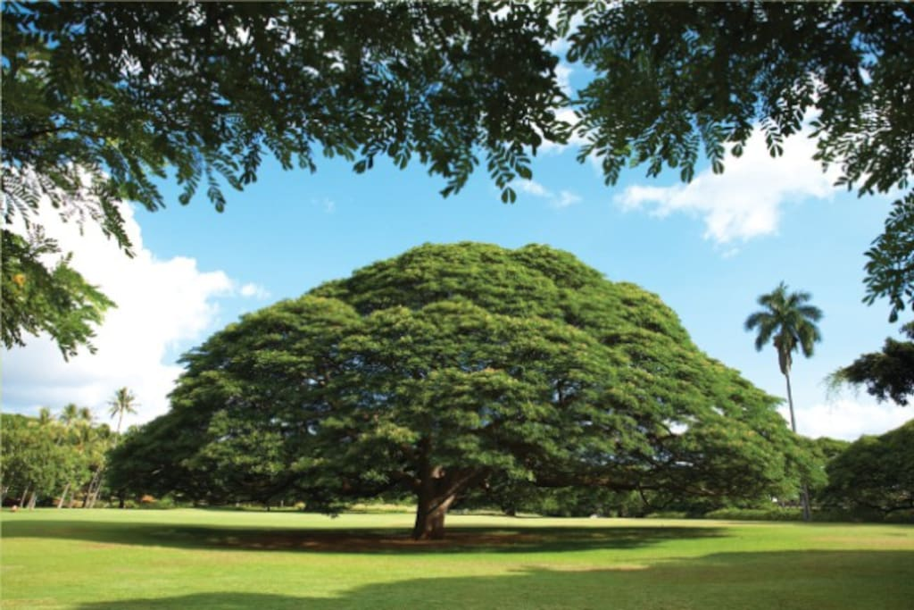 "The Neighborhood - Hitachi no ki (ja:日立の樹, ""Hitachi tree"")  - Moanaloa Gardens"