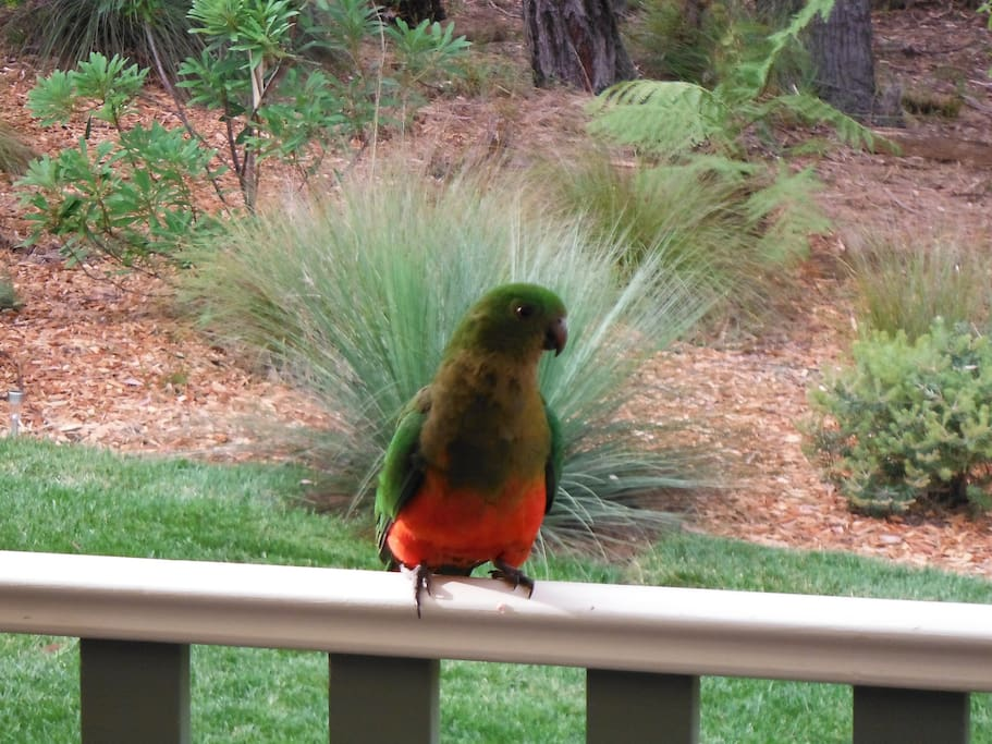 Local visitor, King Parrot