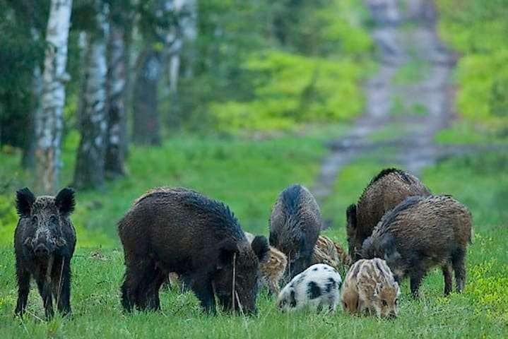 Never was there a better season to spot wild boar than this one - there are so many of them!