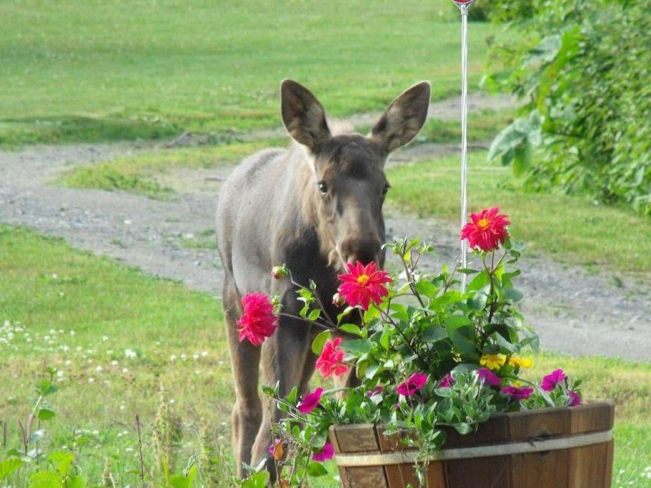 Baby moose eating driveway flowers.