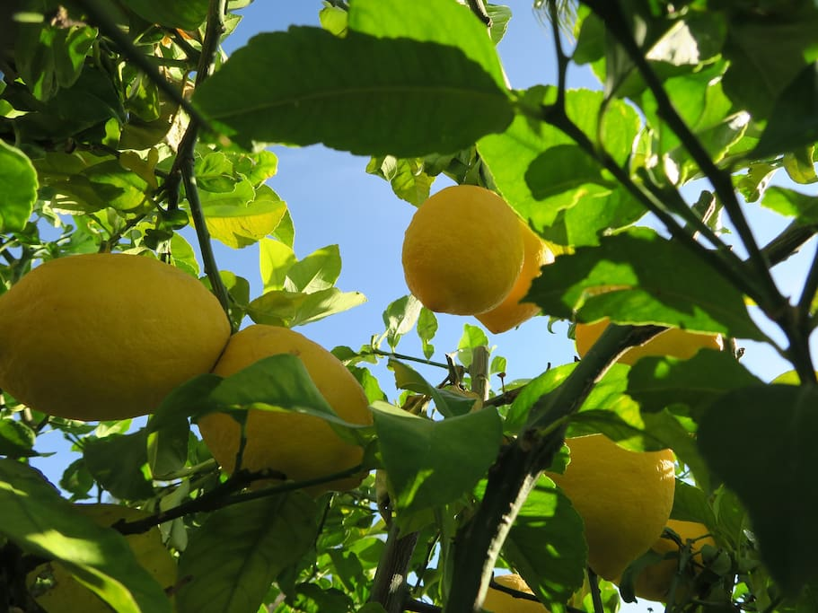 Lemon tree in private garden with afternoon and evening sun