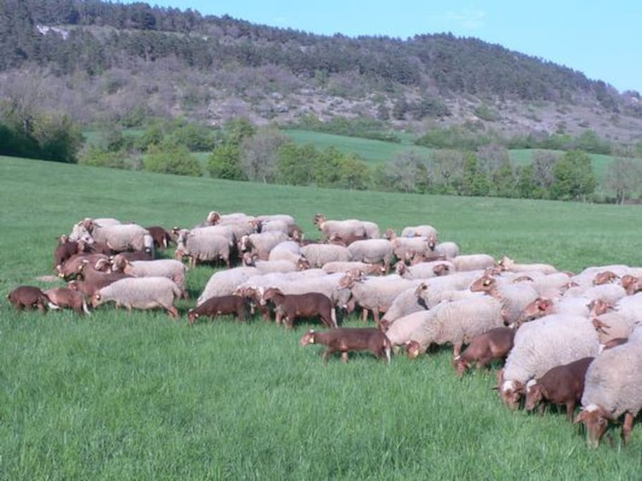 Notre troupeau de brebis et leurs agneaux