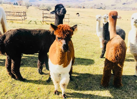 Goose Valley Farm, Alpaca Farm under the Big Horns