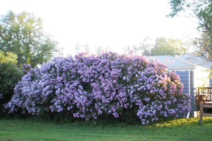 Spring Time Lilac Bush in Full Bloom