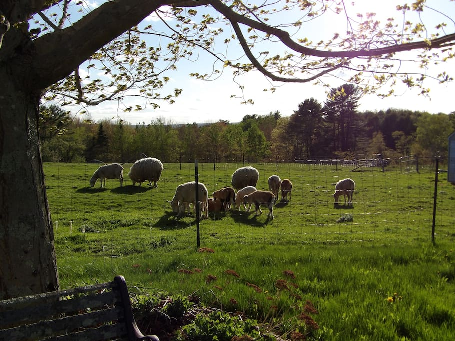 Sheep from yard
