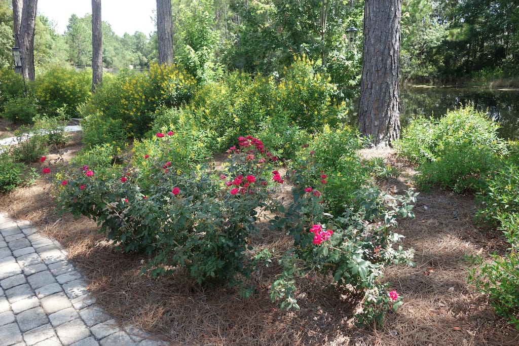 Looking out the back under the pines along the bank - roses, Thyrallis, tea olives.