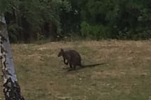 One of our friendly wallabies