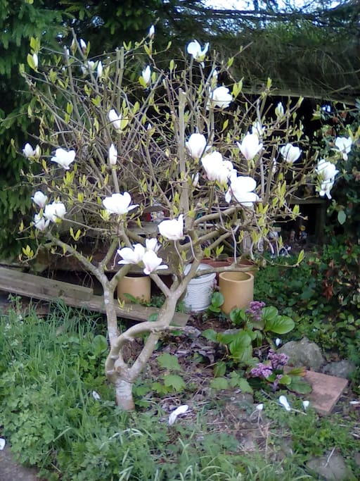 The garden Magnolia shrub April 26 2018
