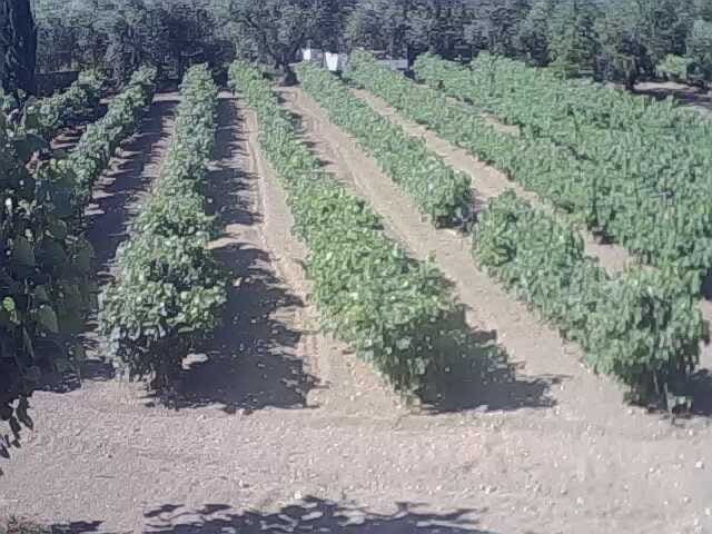 Our vineyard in the farm, right next to the house.