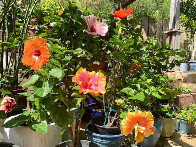 Lovely view of our hibiscus flowers from the studio.