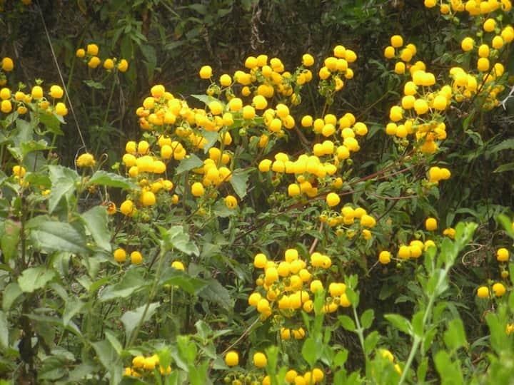 Yellow bubble flowers