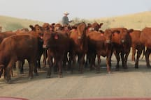 cattle drives in front of the ranch