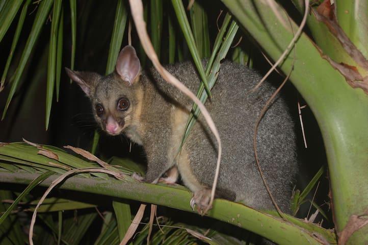 Brush-tailed Possum - a regular furry night time visitor!