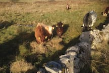 Lunchtime for our organic cows and calves
