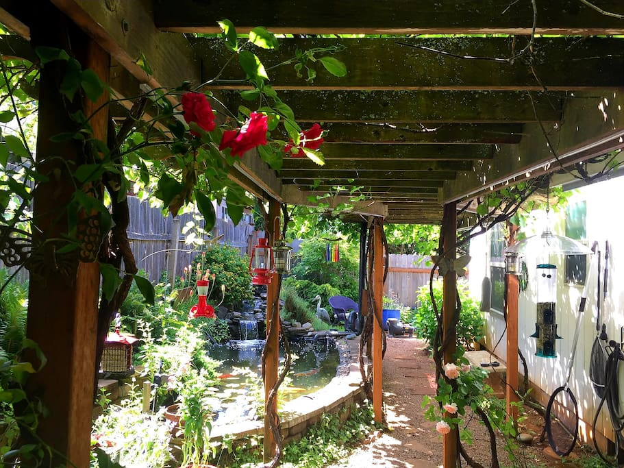 The Pinot Noir grapes over the back pergola.