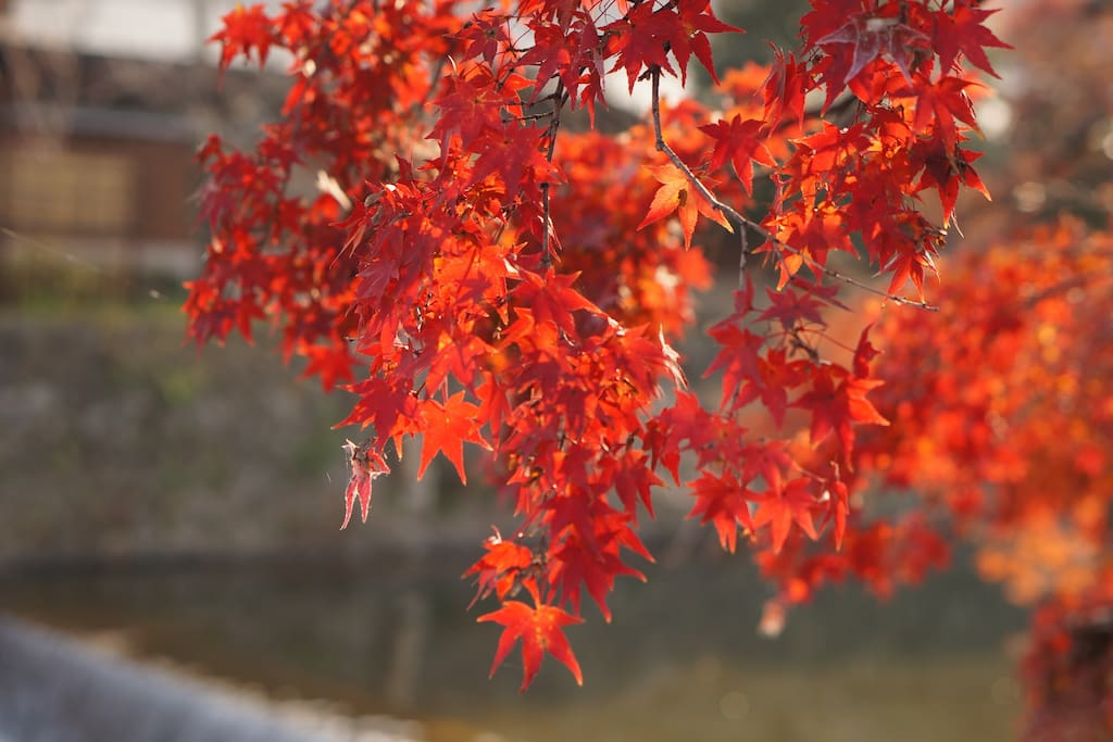 Reservations for the autumn leaves season have been filled.The autumn leaves in Kyoto are the best.