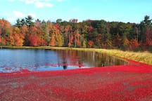 Cranberry Season in Bala