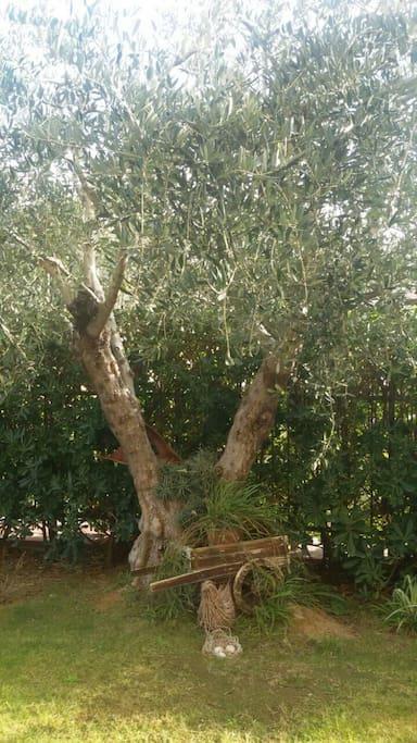 antico ulivo