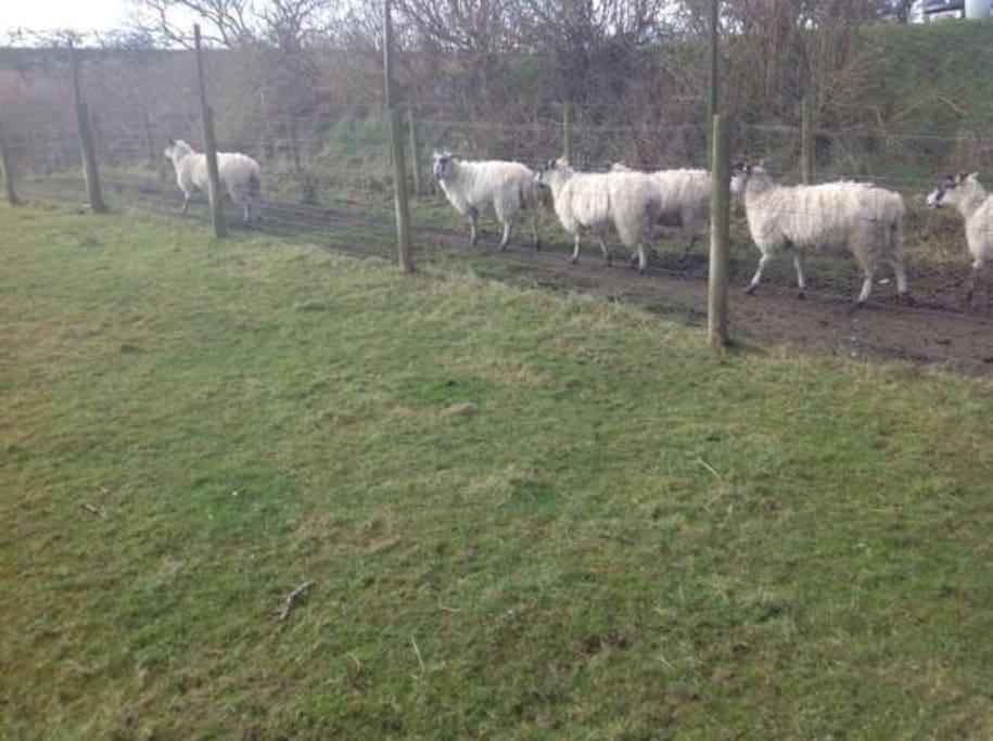 Friendly sheep!