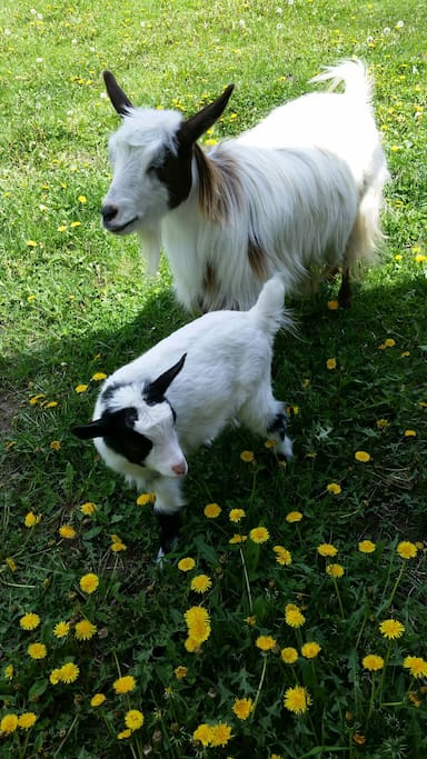 Daisy and Posy our female mini silky fainting goats