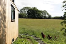 Chickens saying hello
