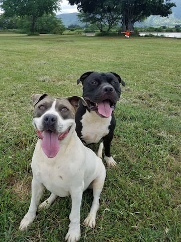 MUST LOVE DOGS. 2 huge pitbulls. One is an energetic puppy over 100lbs.