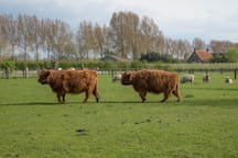 Dieren manieren op de `boerderij schotse hooglander