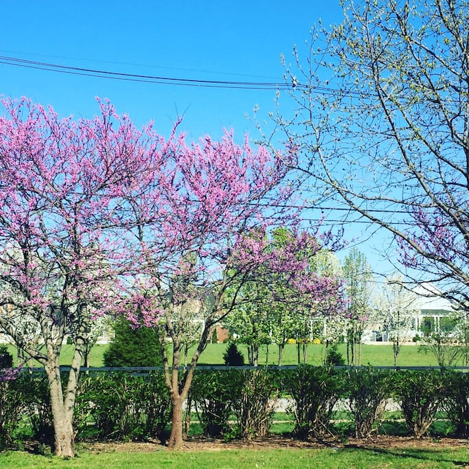 Red bud trees may still be in bloom during Derby week