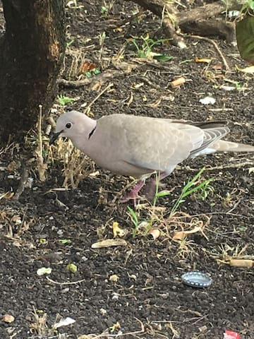 This beautiful dove gave me the inspiration for the colours I will be painting Dove Cottage one day soon.  Watch for it!